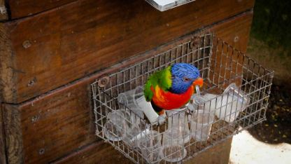 Swainson's-Lorikeet-Guadalupe