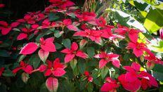 FLOR DE PASCUA. Euphorbia pulcherrima