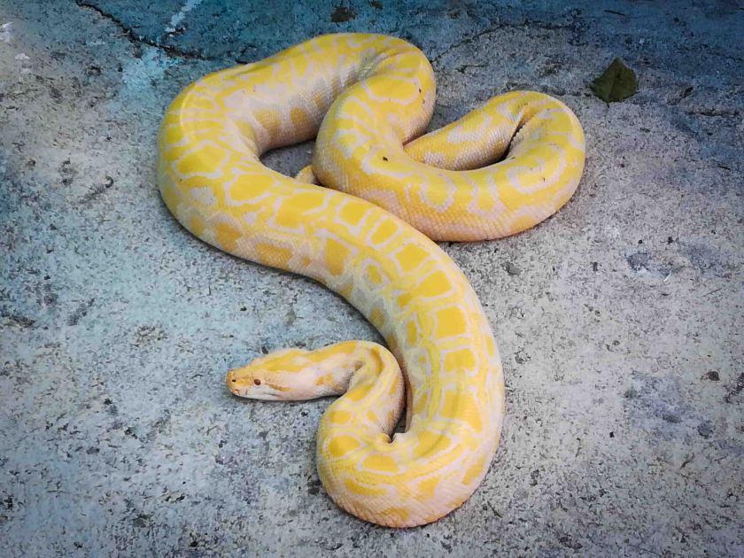 que-ver-en-bohol-piton-albina-amarilla