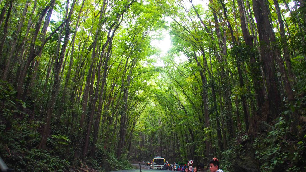 que-ver-en-bohol-man-made-forest