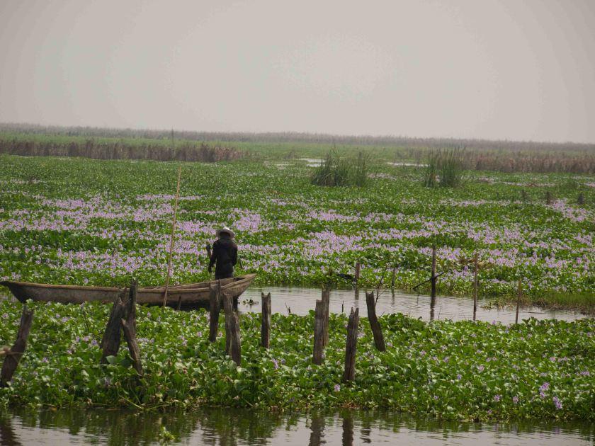 Jacintos -de-Agua-en-el-Lago-Nokue-Benin
