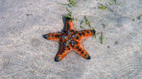 Estrella de mar en Kanawa Island